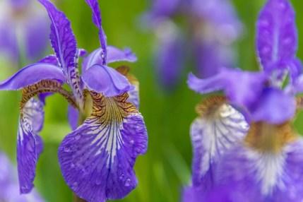 fleurs violettes village miyama kayabuki-no-sato - kyoto prefecture japon 13