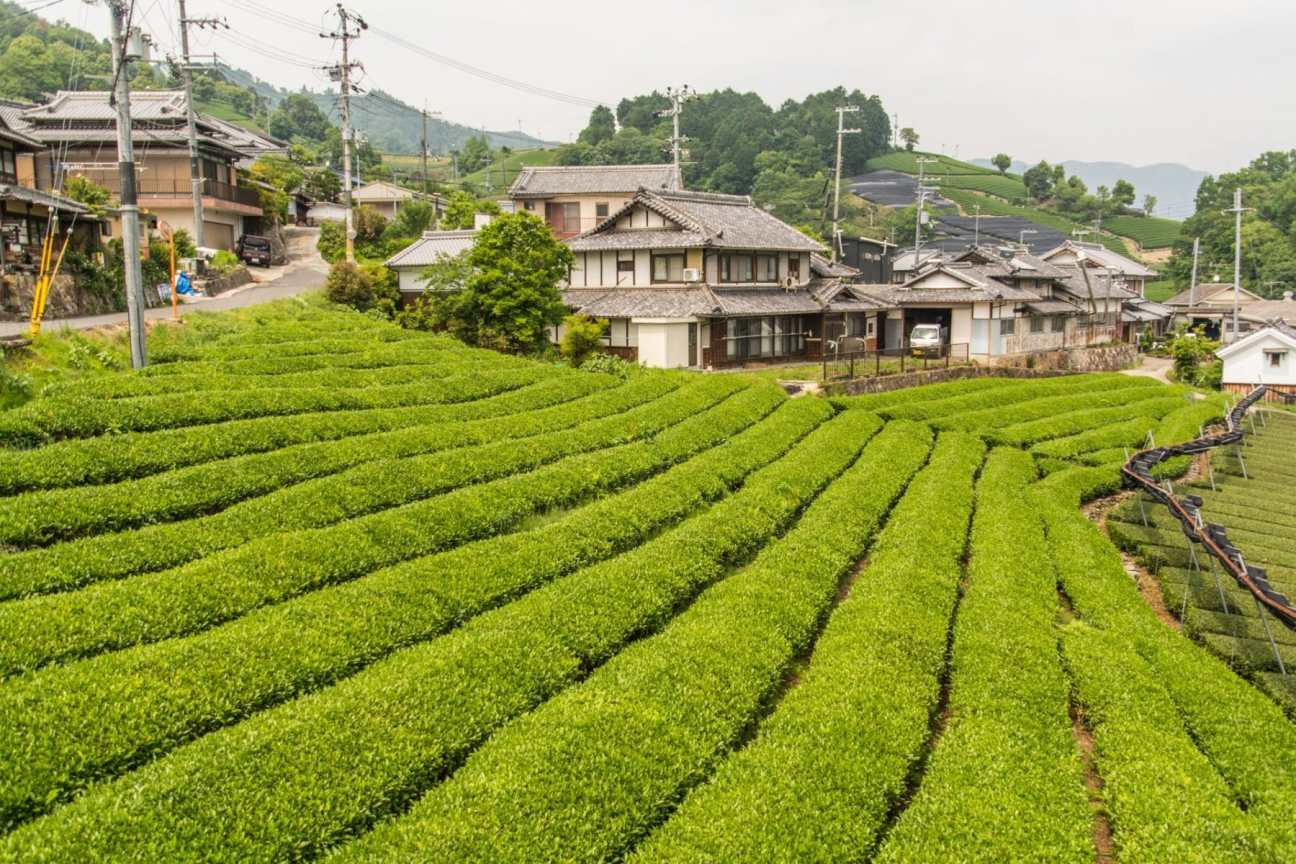 plantation thé balade velo wazuka - kyoto prefecture japon