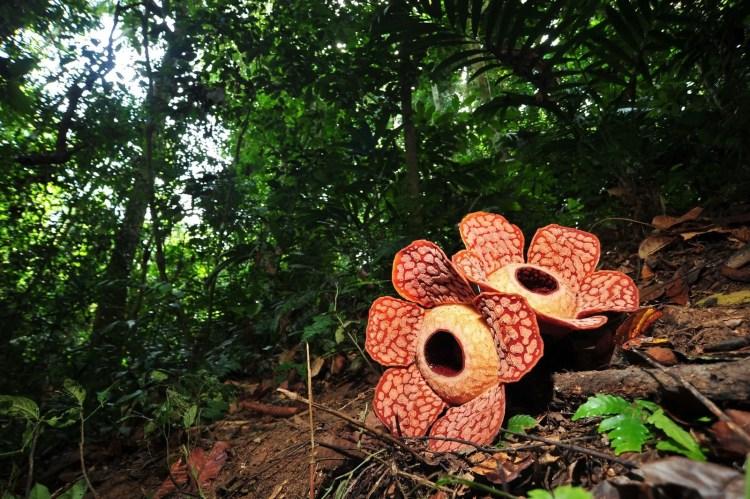 fleur rafflesia au Royal Belum