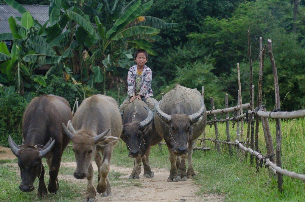 Boy riding a buffalo in Thailand