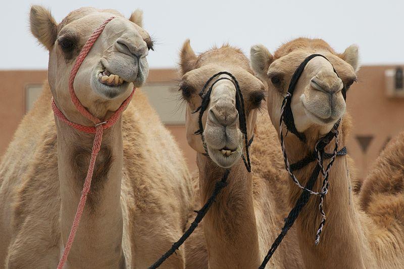 Camels in Al Ain, UAE
