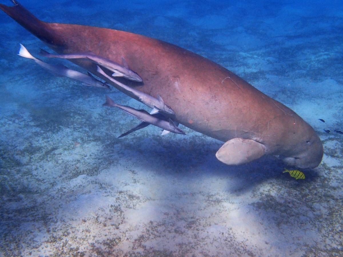 Baby dugong 'Yamil' dies
