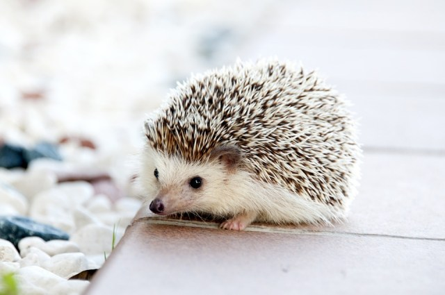 World's First Hedgehog Cafe Opens in Japan