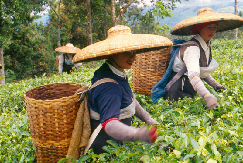 Indonesian women harvesting tea in Bogor, West Java