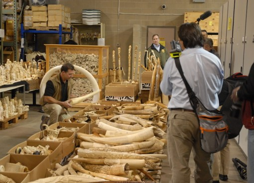 Seized ivory slated for destruction in the crush