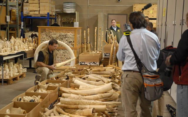 Seized ivory slated for destruction in the crush. Image: USFWS Mountain-Prairie.
