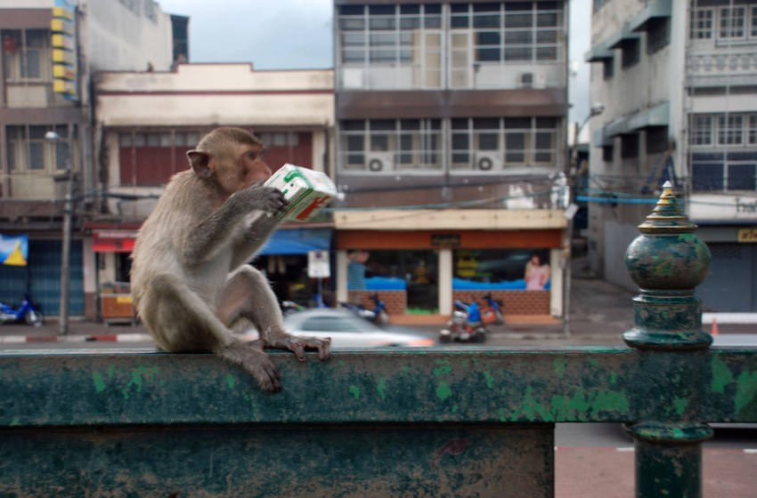 Macaque with a juice carton on a fence in Lopburi