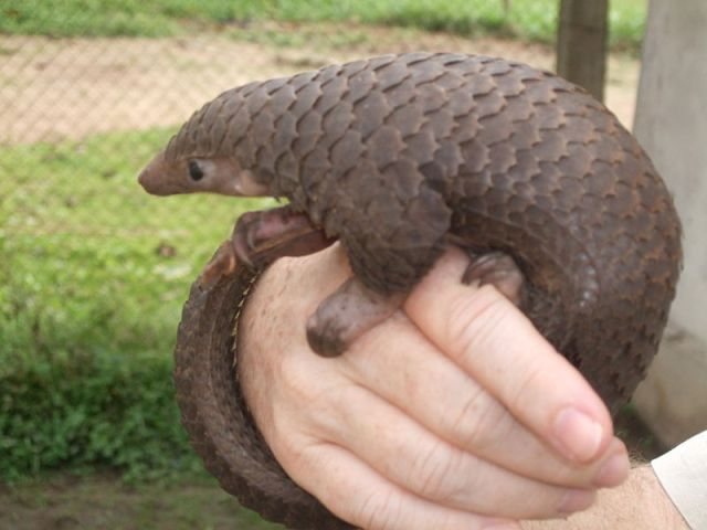 Trafficking in wildlife, especially pangolin, from Malaysia into Thailand
