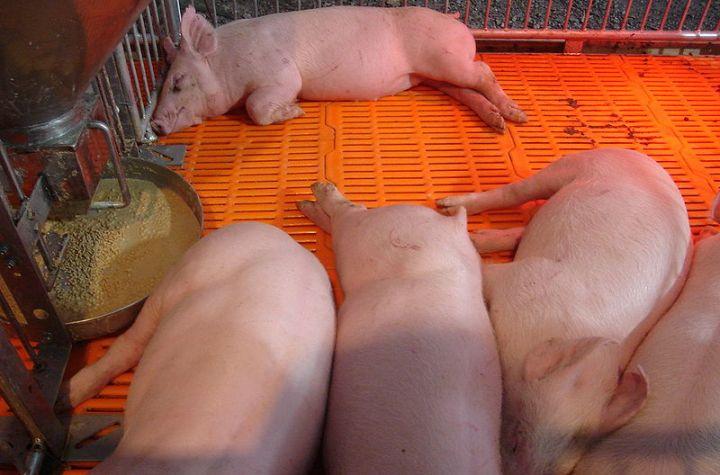Pig farming in Chiang Mai
