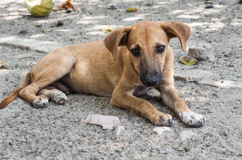 stray dog in Thailand