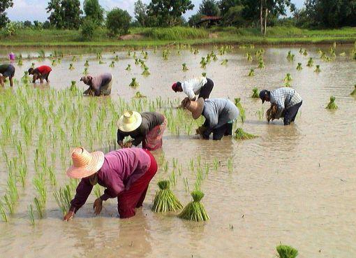 Rice farmers transplanting rice, Chaiyaphum Province
