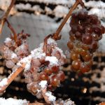 Ice wine grapes, frozen on the vine