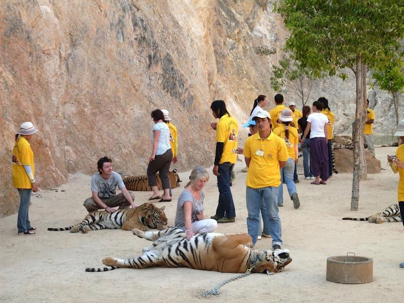 Tigers at Tiger Temple in Kanchanaburi