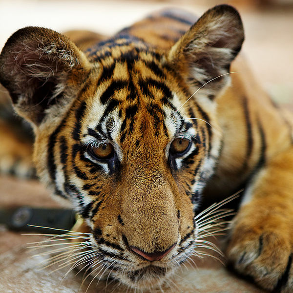 'Tiger temple' gets zoo licence 2