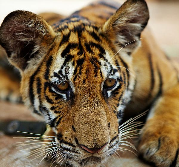 'Tiger temple' gets zoo licence