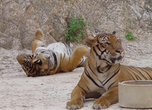 Tigers in Kanchanaburi, Thailand