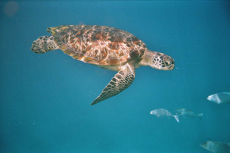 Chelonia mydas turtle in the Similan Islands