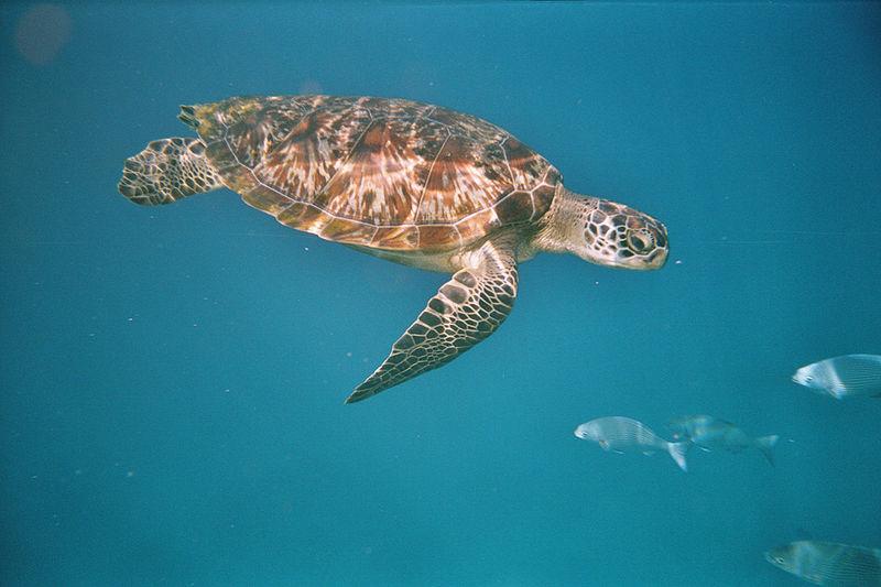 Chelonia mydas turtle in the Similan Islands
