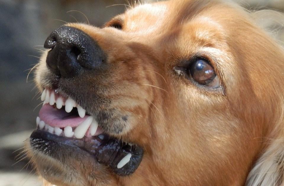 Angry dog with rabies