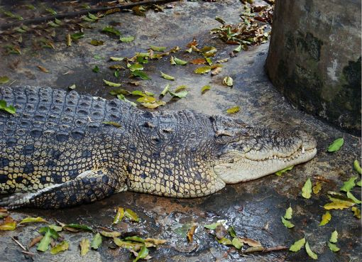 Crocodile in a pond in Wat Chakrawat, Samphanthawong District, Bangkok