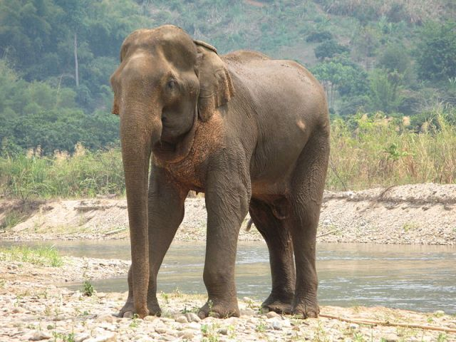 Elephants in South falling sick, possibly from mud, contaminated food