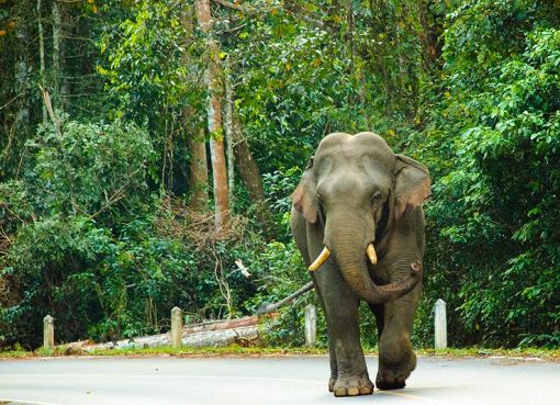 Asian Elephant in Thailand