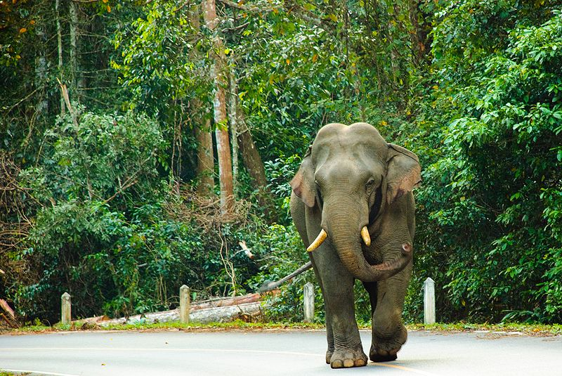 Wild Asian Elephant in Khao Yai