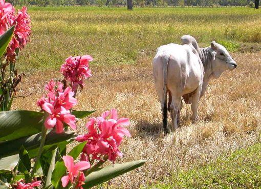 A cow in a farm in Isan, Thailand