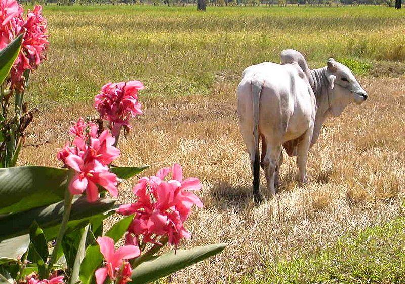 Suspected bovine foot and mouth disease outbreak in Saraburi