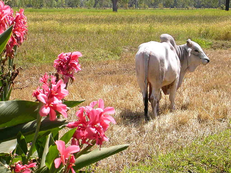 A Oxen in a rice farm in Isan, Thailand