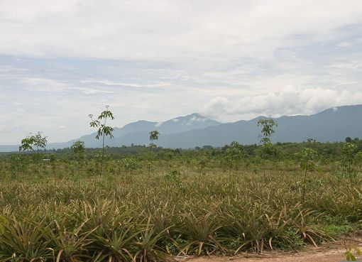 Pineapple field and mountains in Chantaburi province of Thailand