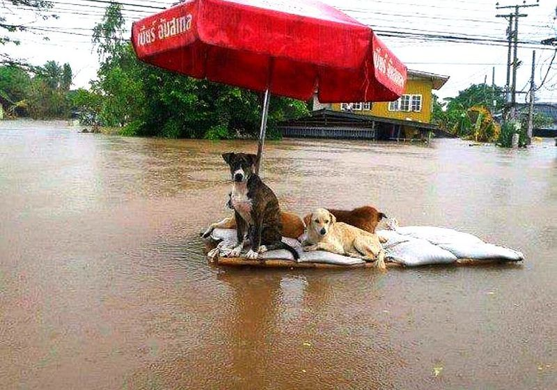 Dogs during Thai floods in 2011