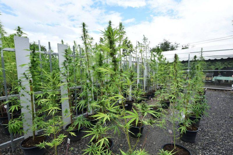 A pilot project of greenhouse cannabis cultivation, Chula Saraburi campus