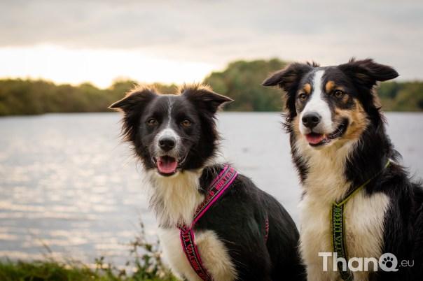 Hondenfoto van Border collies Fenna en Jindi bij Schelphoek in Serooskerke, Zeeland