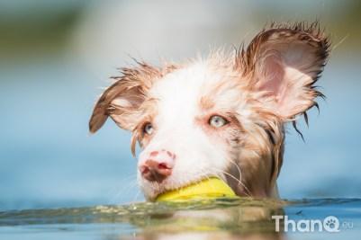 Border collie puppy Veresk bij Meerkoet, Veerse Meer, Zeeland