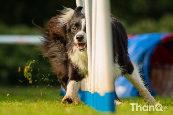 Honden behendigheid wedstrijd KC de Kempen - klasse B1 Large