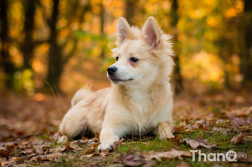 Bounty (Keeshondje) - Hondenfoto's bij De Heide, Bergen op Zoom