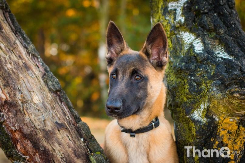 Stryker (Herder) - Hondenfoto's bij De Heide, Bergen op Zoom