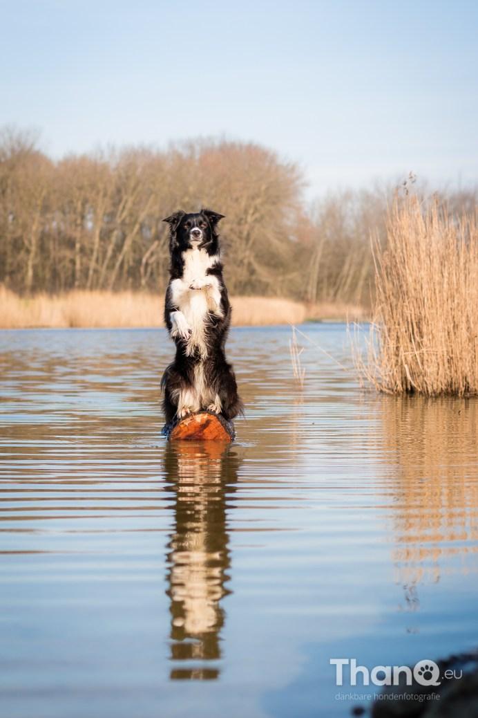 Hondenfoto van border collie Fenna in het Veerse Bos