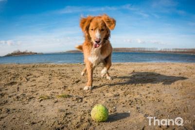 Toby (Toller) bij het Veerse Meer