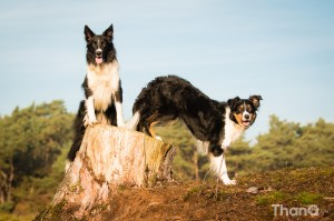 Frankie en Jenn (Border Collies)