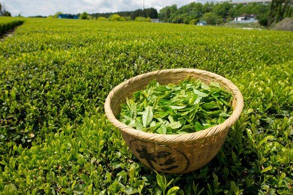 رجيم الشاي الأخضر للتخسيس
