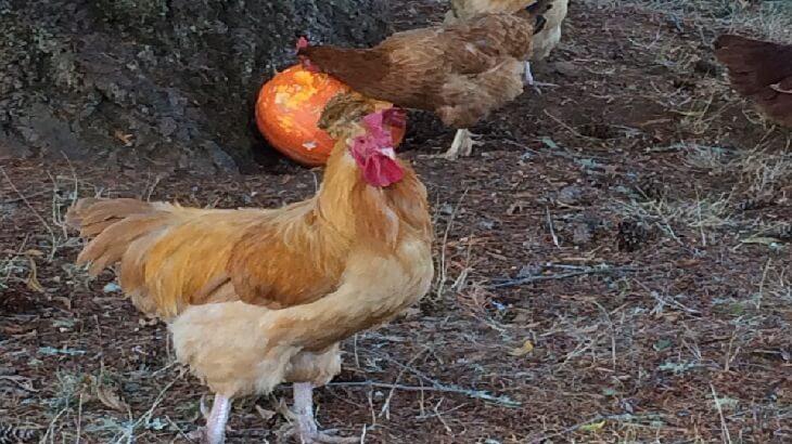 تفسير رؤية دجاجة في الحلم