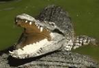 تفسير رؤية التمساح في المنام
