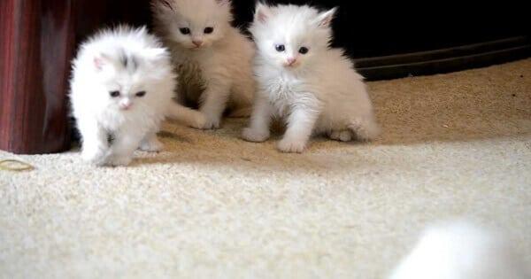 اكل القطط الصغيرة عمرها شهر أو شهرين