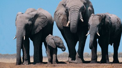 3 animals that have funerals like human beings