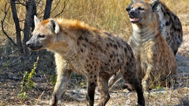 Man killed and eaten by pack of hyenas which dragged him from bedroom