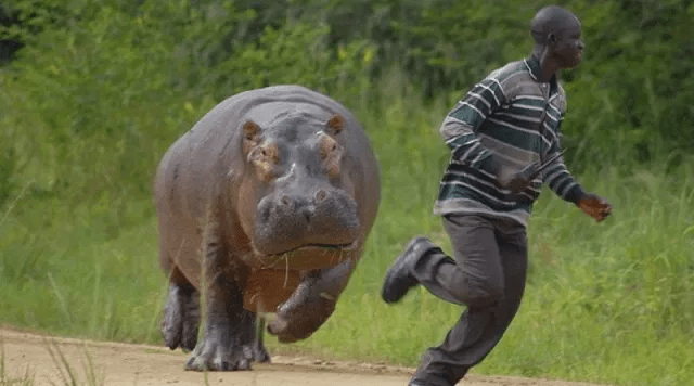 Man bitten and trampled to death by a charging hippo