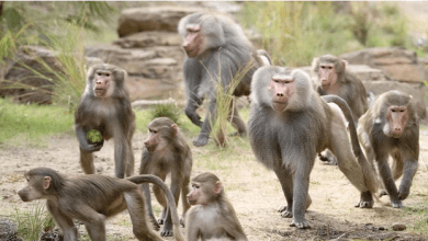 Baboons Stoms Supermarkets And Terrorize Residents