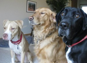 Pitbull, golden and black lab mix sitting together